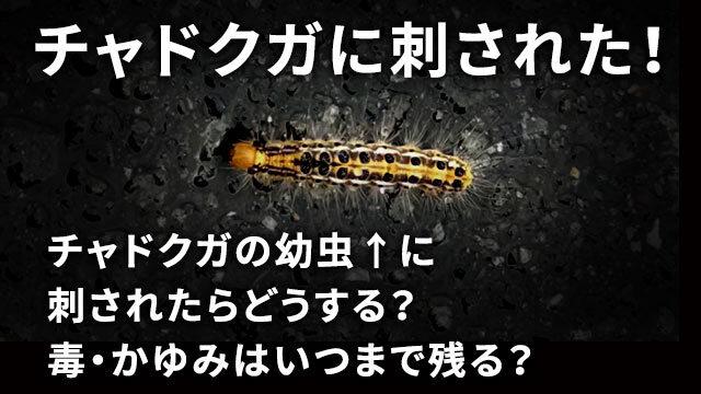 チャドクガの幼虫に刺されたら